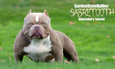 Garden State Bulliez Sabretooth