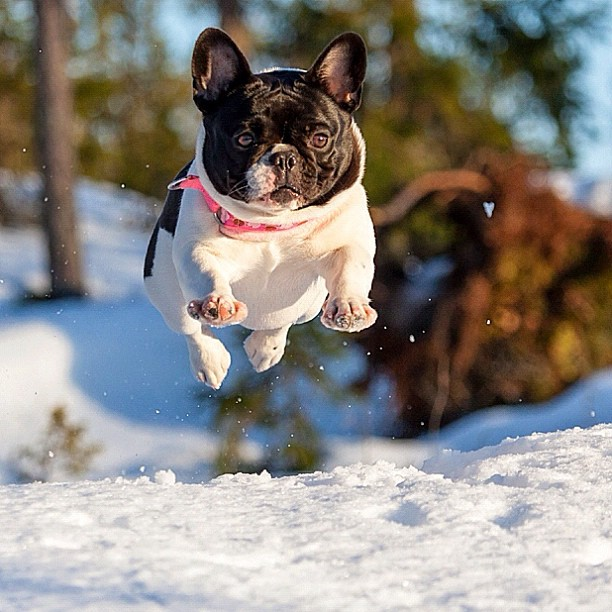 French Bulldog playing in the snow