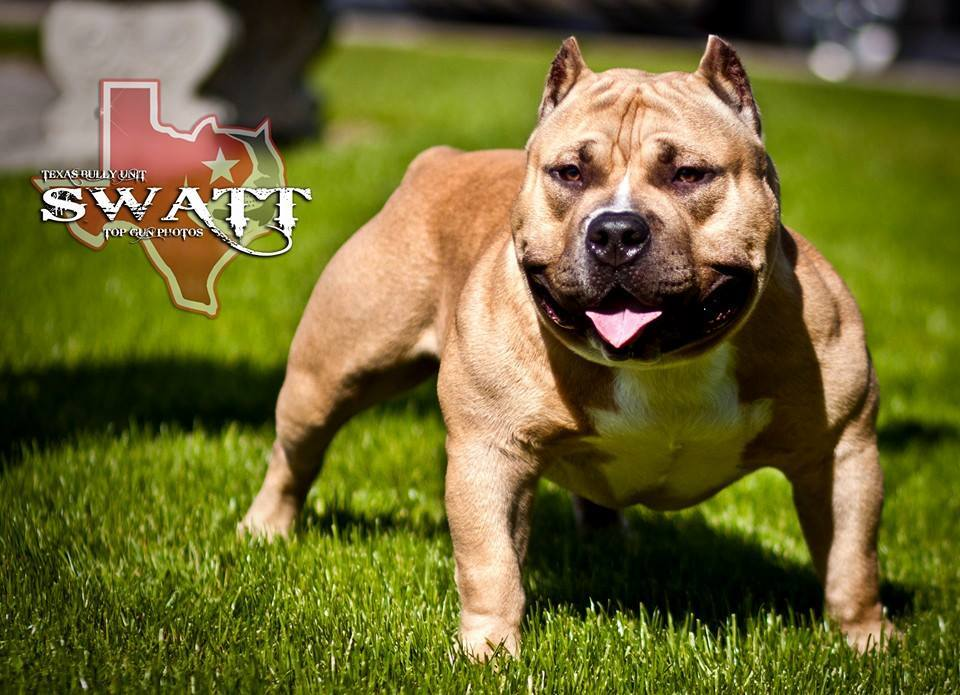 texas-bully-unit-swatt