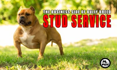 bully-girl-magazine-american-bully