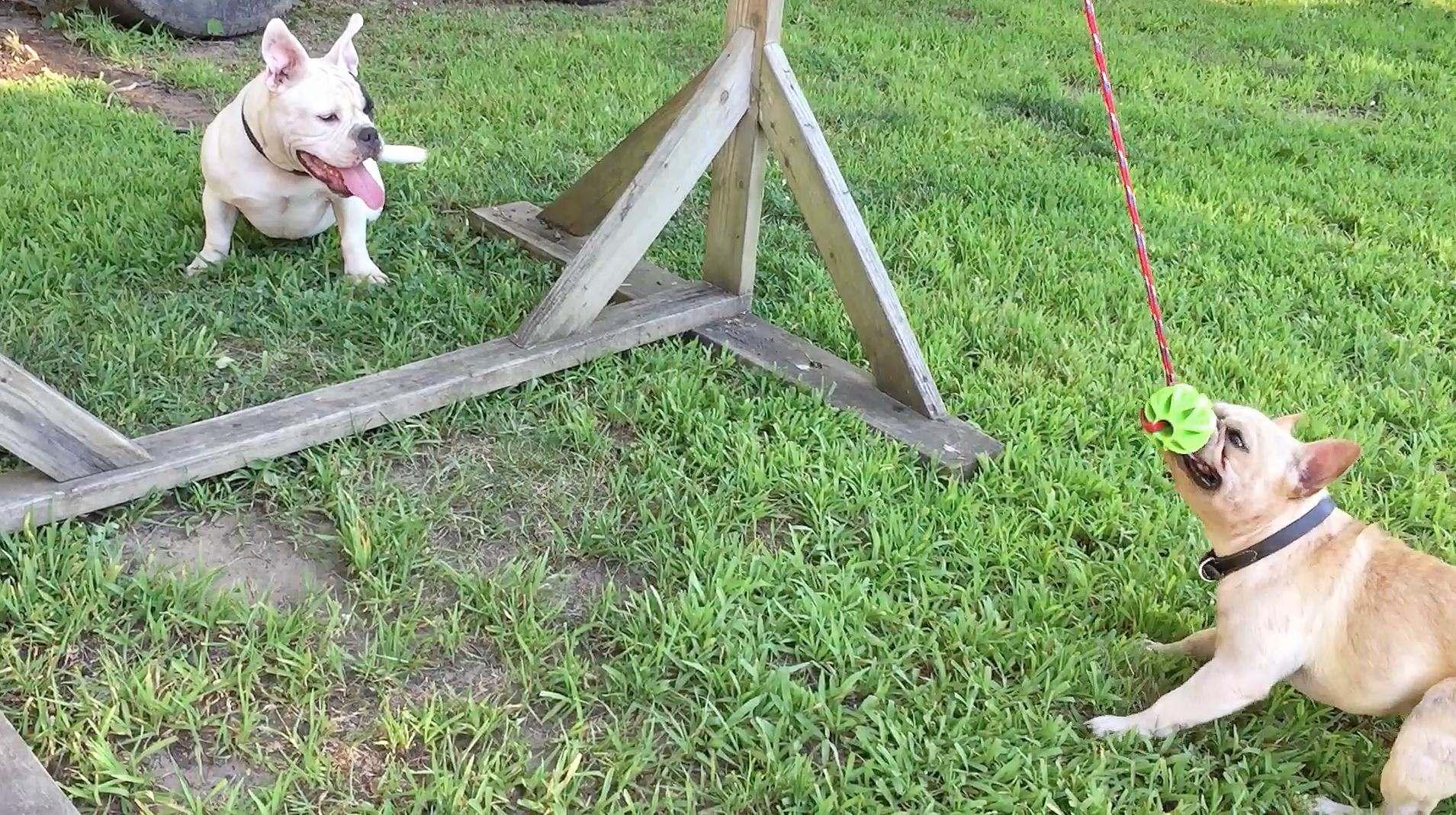 spring poles for pit bulls