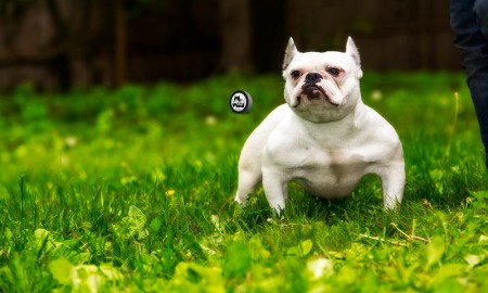 BGM Bully Breed Photo Contest 34