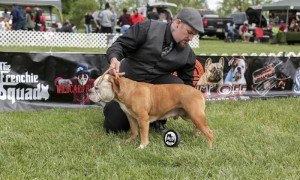 4 Ways to Prepare for a Bully Breed Dog Show