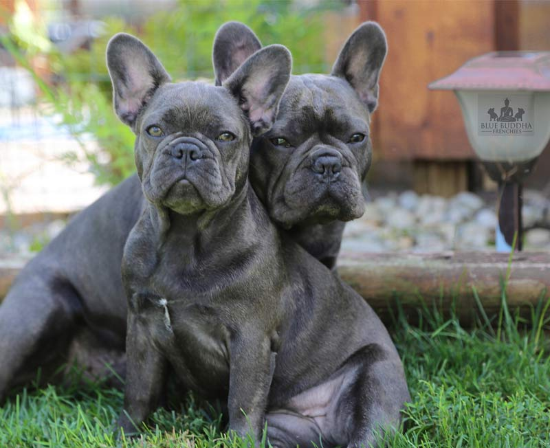 Blue Buddha Frenchies
