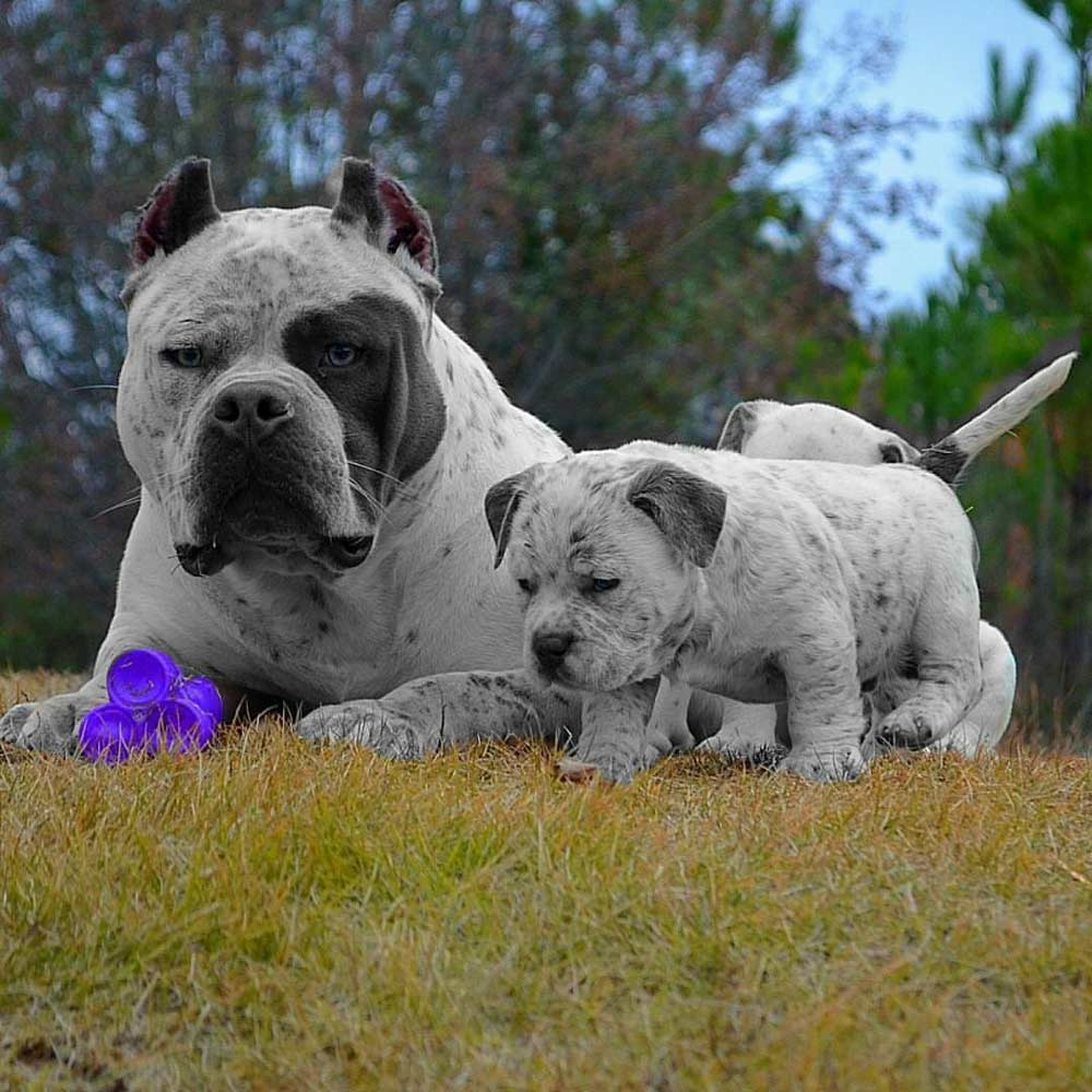 Rayment Boss Bully Kennels Pocket American Bully Breeder