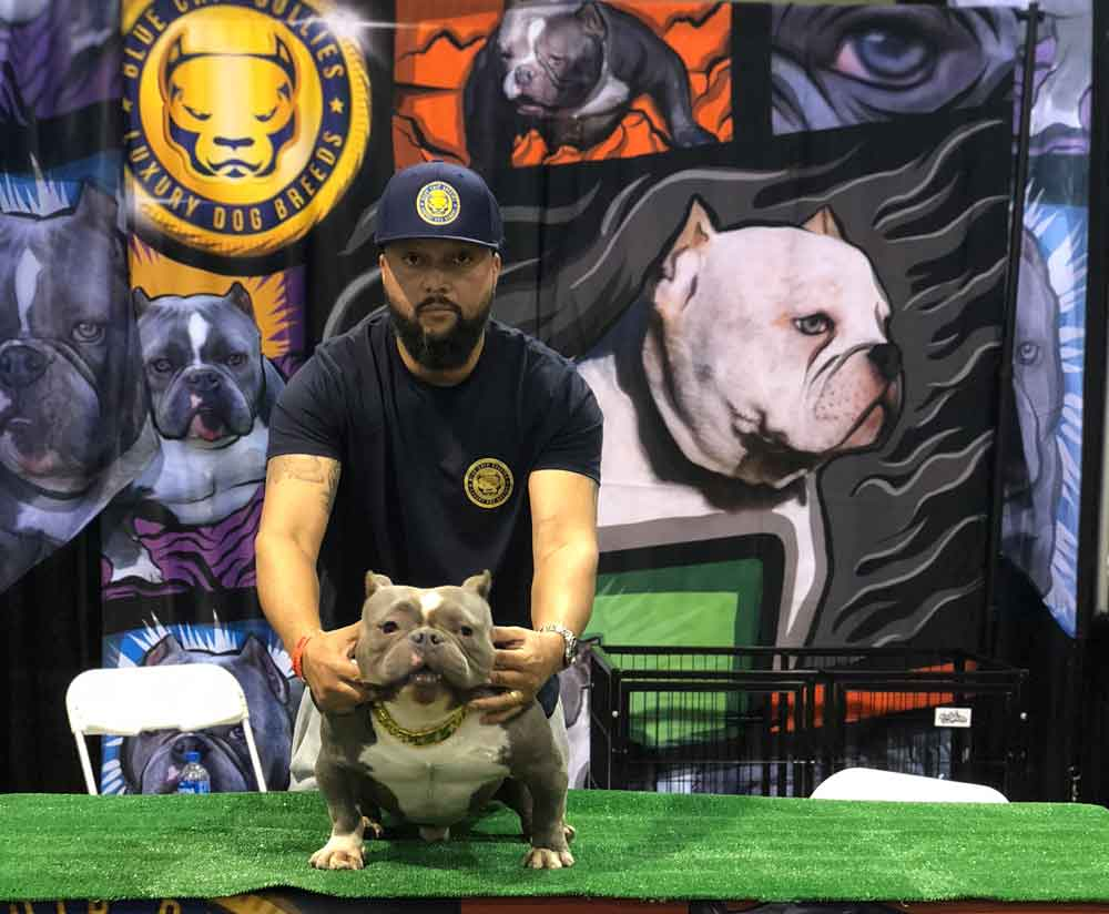 Blue Chip Bullies Frenchie And Micro Exotic American Bully